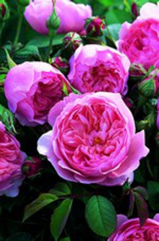 The Alnwick Rose ®