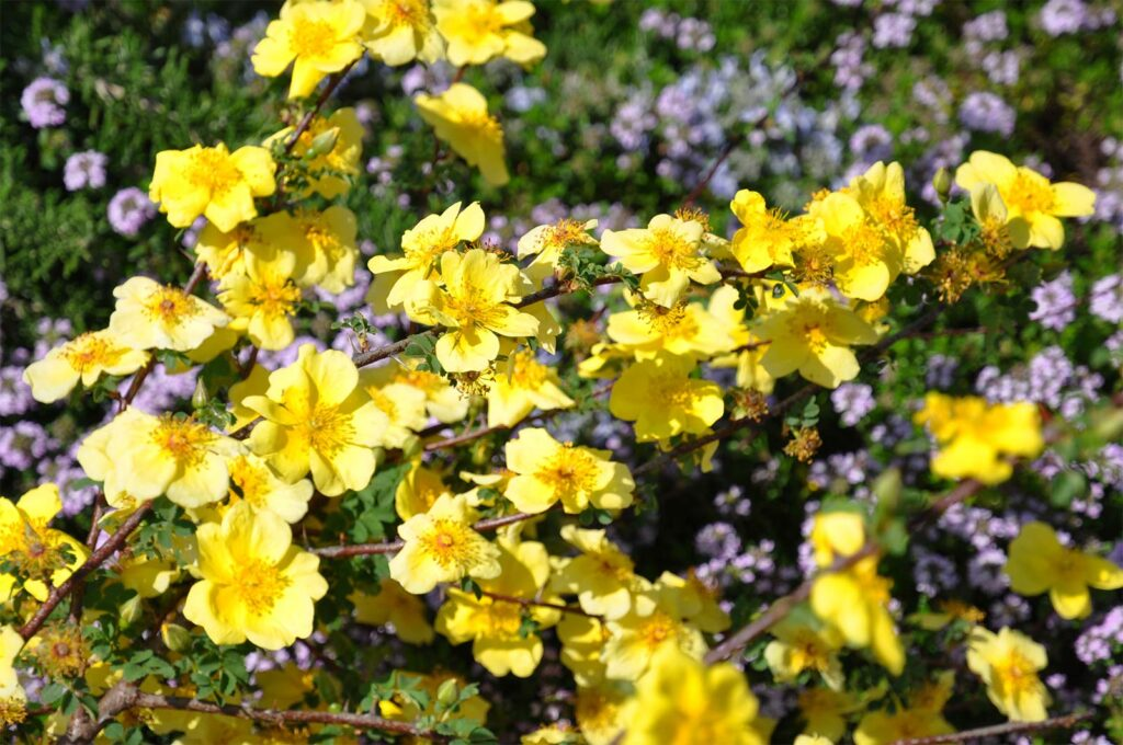 Parliamo delle rose botaniche