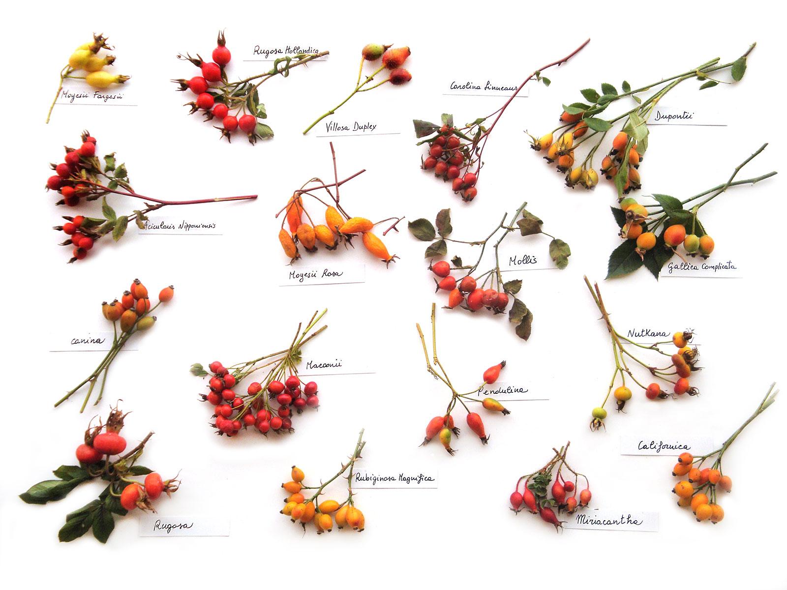 Le bacche delle rose Botaniche